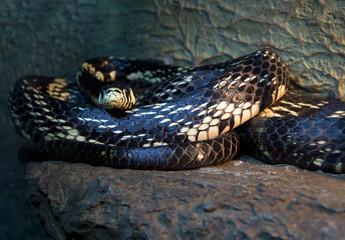Змея куроед