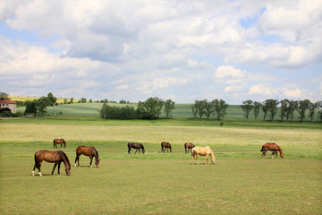Grazing Horses on the green Pasture