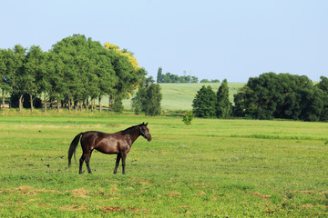 Brown Horse on the green Pasture