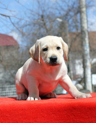 the labrador puppy on the red background