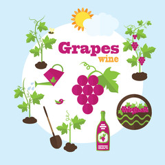 Vector garden illustration in flat style. Planting grapes, harve
