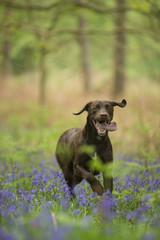 Springer - Canis familiaris