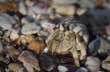 Crab, cancer.