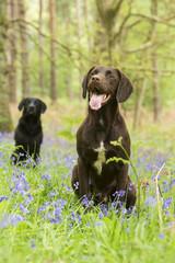 Springer - Canis lupus familiaris
