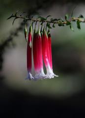 Native Fuchsia flower