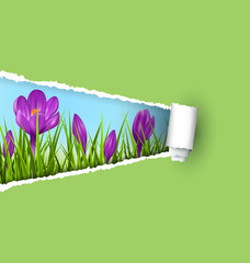 Green grass lawn with violet crocuses and ripped paper sheet iso