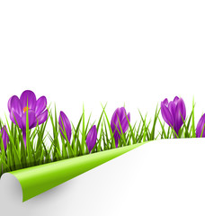 Green grass lawn with violet crocuses and wrapped paper sheet is