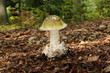 Leinwanddruck Bild - Amanita phalloides, known as the death cap