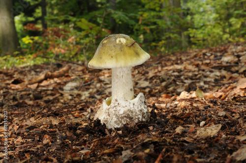 Leinwanddruck Bild Amanita phalloides, known as the death cap