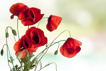 Poppy. Floral design, decoration flowers, poppies border -