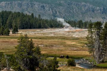 Bison at Yellowstone Geyser Old Faithful