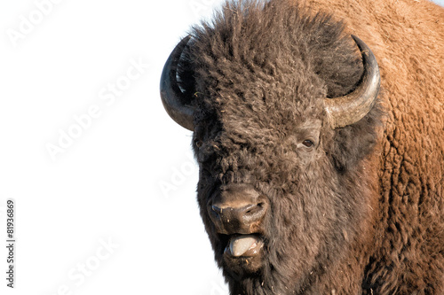 Buffalo Bison in Yellowstone isolated on white