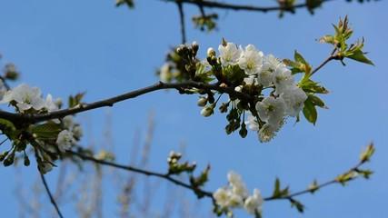 zarte weiße Blütenpracht an einem Baum im Frühlingswind