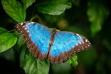 Blue butterfly on the green leaf