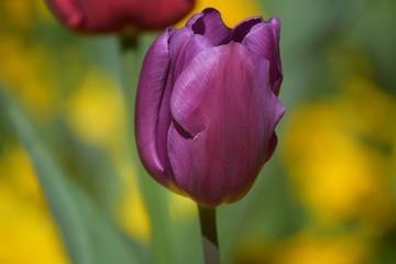 Violet Tulipe