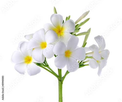 Foto op Canvas Frangipani Frangipani or Plumeria Flower Isolated on White Background