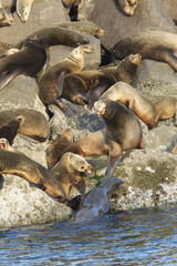 Sea lions guarding their spots in Newport, Oregon.