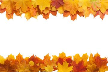Autumn. golden leaves maple isolated.