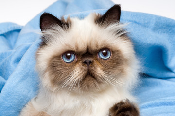 Close up of a cute young persian seal colourpoint kitten