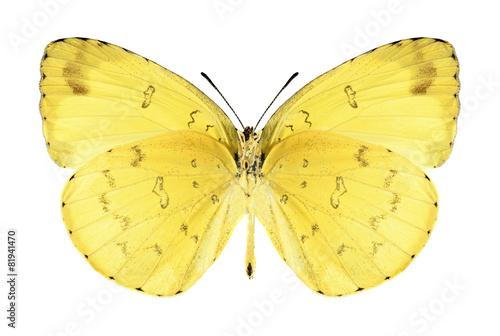 Deurstickers Vlinder Butterfly Eurema hecabe (male) (underside)