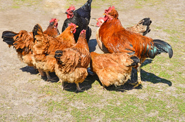 Rooster and hens drink water on a poultry farm