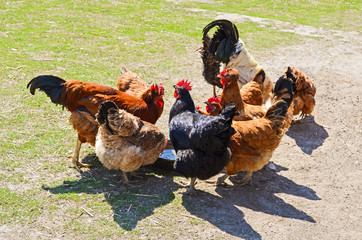 Feeding birds at a poultry farm
