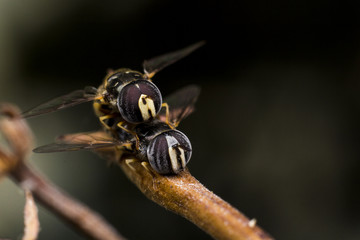 Couple flower fly, bee