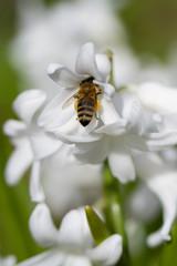 Gartenhyazinthe mit Biene