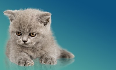Domestic Cat. Funny kitten