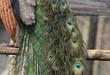 Schwanzfedern eines männlichen Pfaus