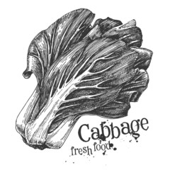 ripe cabbage on a white background. sketch