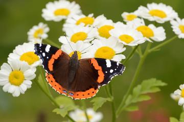 Schmetterling 133