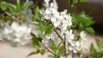Cherry flowers blooming in springtime. Shallow focus depth.