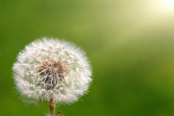 Dandelion on grassy background