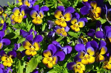 Hornveilchen lila gelb