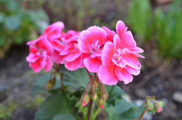 Rosa Geranie im Garten