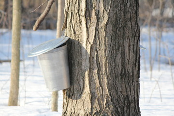 Sap Bucket on Maple Tree