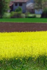 Campo di colza - Brassica napus oleifera