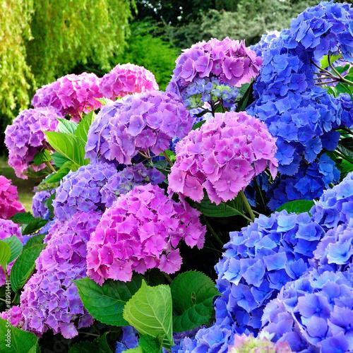 In de dag Hydrangea Hortensias dans un jardin