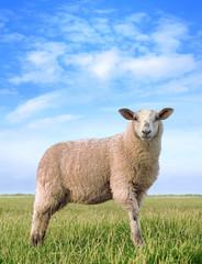 The pretty sheep