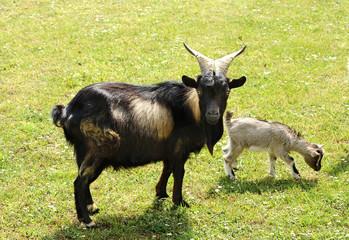 Tibetan nanny goat with kid
