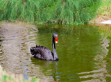 Black swan swimming on a pond