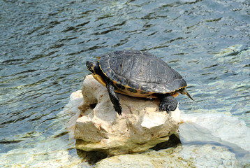 Turtle Sunbathing on Rock at Edge of Water