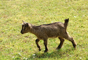 Young goat walking through a pasture