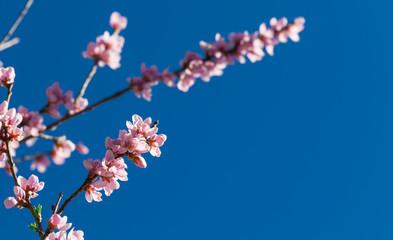 Pfirsichblüte, blauer Himmel