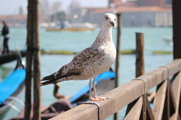 Goéland de Venise