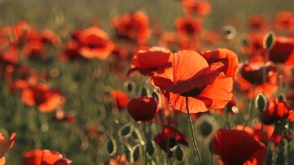 Beautiful Field Poppies Swaying On Breeze