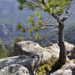 Pin rocher montagne Corse