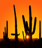 Fotoroleta Silhouettes of giant cactus at sunset in Saguaro National Park,