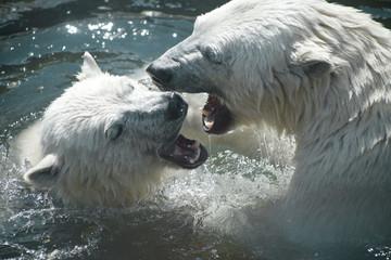 Polar bears play with each other